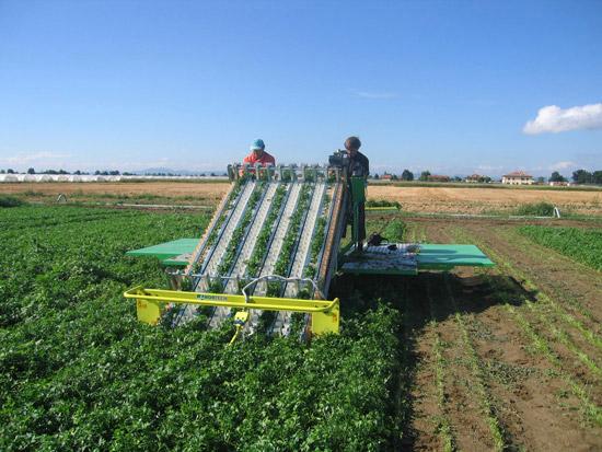 Как вырастить ранний урожай моркови и петрушки?